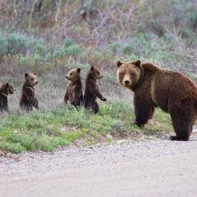 Baby Health in Winter Grizzly Miracle: Grand Teton's 399 Emerges with Quadruplets